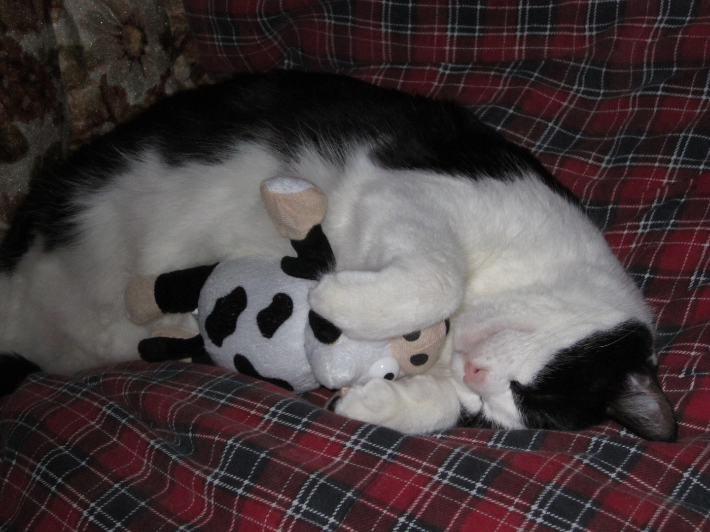 Tuxedo cat with stuffed toy cow