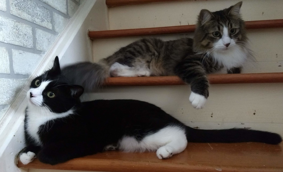tuxedo cat & long haired grey tabby on stairs daydreaming