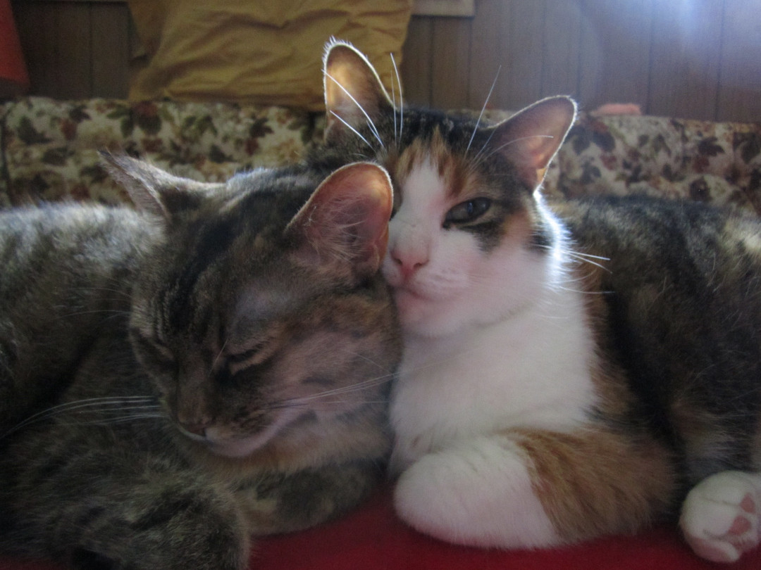 Brown tabby cat and calico cat