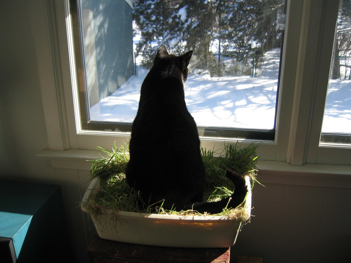 Tuxedo cat looking out window sitting in cat grass