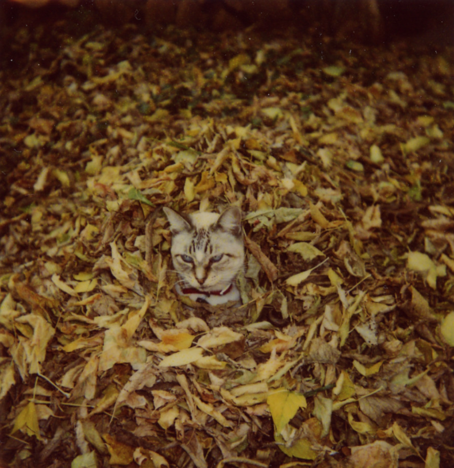 Lynx Point Siamese Playing in Leaves