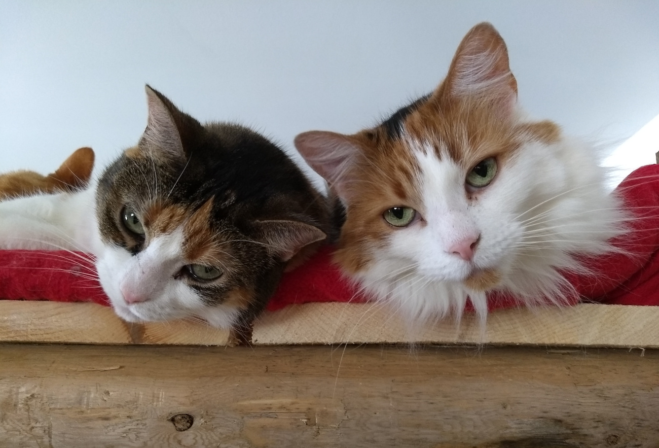 Calico cat with brown tabby cat