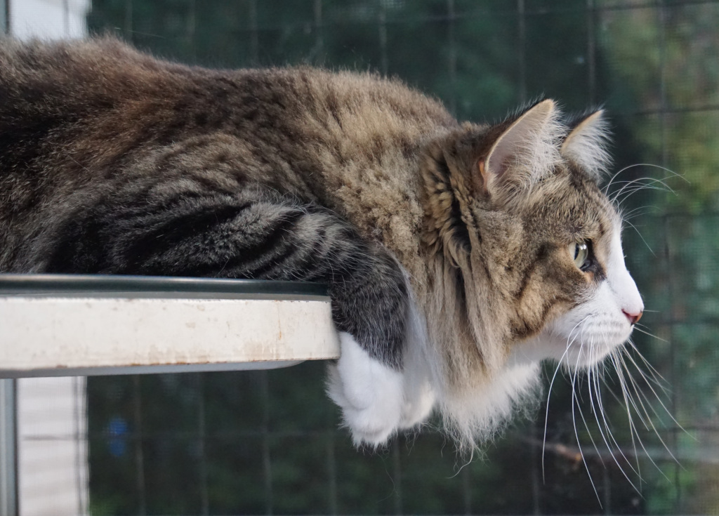 Long Haired Grey Tabby cat