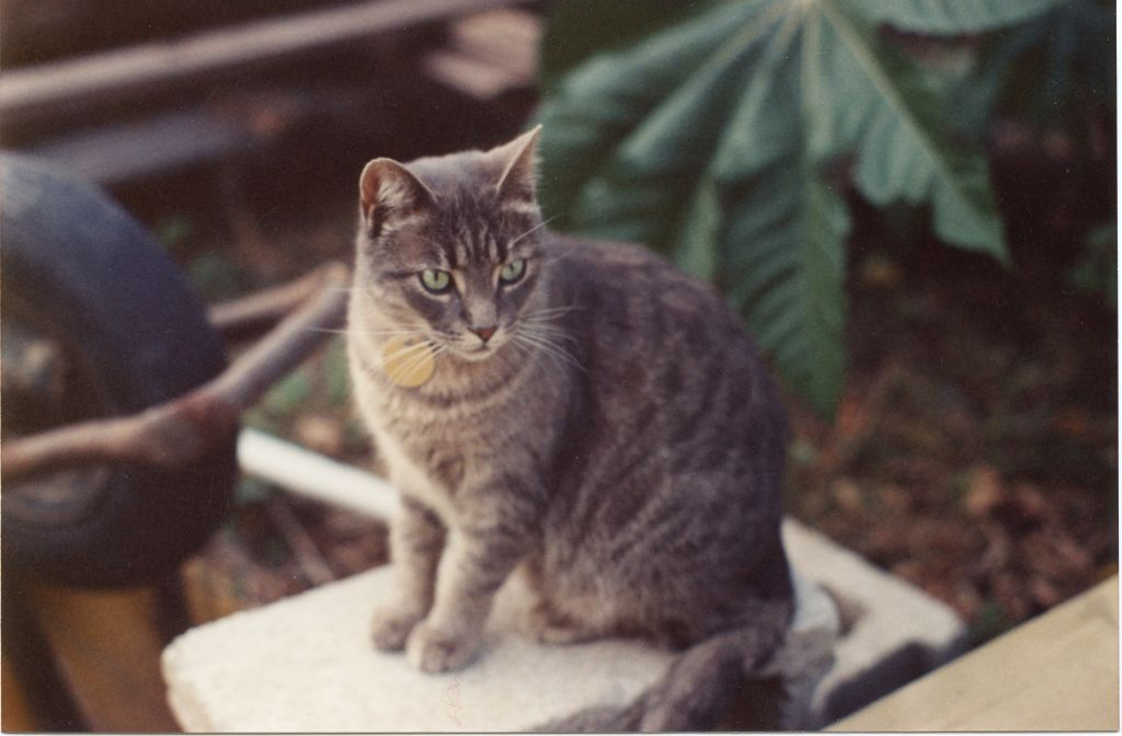 Grey tabby cat picture
